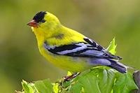 American-Goldfinch.jpg